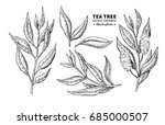 tea tree vector drawing.... | Shutterstock .eps vector #685000507