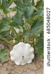 patty pan white squash in the... | Shutterstock . vector #685048027