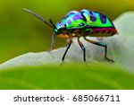 jewel bug  chrysocoris stollii  ... | Shutterstock . vector #685066711