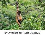 Brown Spider Monkey Hanging...