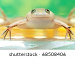 Small photo of African clawed frog - Xenopus laevis