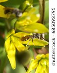 Small photo of Macro of a fluffy striped bee Andrena with wings of a wild onion flower on a yellow petal
