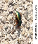 Small photo of Carabus solieri is a species of beetles belonging to the Carabidae family.This species occurs in France and in Italy, especially in part of the Western Alps and in Apennines.