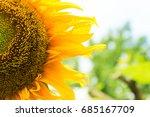 sunflowers  large flowers  half ... | Shutterstock . vector #685167709