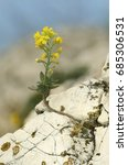 Small photo of Aurinia saxatilis (syns Alyssum saxatile,plant, rock, sun