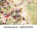 european robin  erithacus... | Shutterstock . vector #685332901