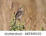Small photo of Threatened Grasshopper Sparrow (Ammodramus savannarum) singing on a plant