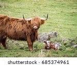 Highland Furry Cow With Its Calf