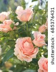 Stock photo pink garden rose in the garden 685376431