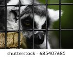 Sad Lemur Laying In A Cage