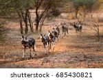 wild dogs hunting.  aka african ... | Shutterstock . vector #685430821
