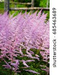 Small photo of Pale pink flower plumes of astilbe plant