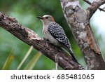 Female Red Bellied Woodpecker ...