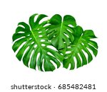 monstera leaves   big tropical... | Shutterstock . vector #685482481