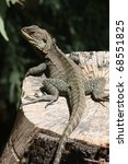 gippsland water dragon ... | Shutterstock . vector #68551825