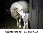 Stock photo sheep with a lamb standing in the doorway of the barn maternal instinct 68559562
