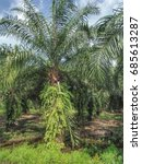 oil palm plantation in southern ...   Shutterstock . vector #685613287