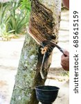 Small photo of Gide hands of farmers Use a knife to make the rubber tree rubber.