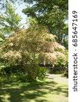Small photo of Acer palmatum 'Chishio Improved'