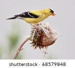 american goldfinch  spinus... | Shutterstock . vector #68579848