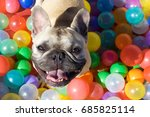 Stock photo happy young french bulldog in a colorful ball pit looking up at camera 685825114