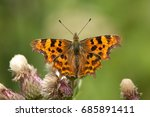 A Comma Butterfly  Polygonia C...