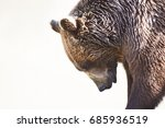 grizzly brown bear isolated... | Shutterstock . vector #685936519