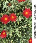 Small photo of Ice plant