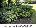 Hosta Plant Mix  Green  White ...