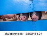 pigs sticking their noses... | Shutterstock . vector #686045629