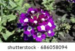Flowers Verbena Purple With...