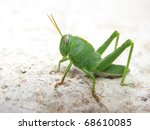 Green Grasshopper In A Macro...