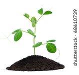 Plant Pea And Soil  Isolated O...