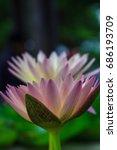 beautiful waterlilies from... | Shutterstock . vector #686193709