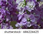 close up of pink matthiola...   Shutterstock . vector #686226625