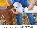 Calf Drinking From The Bottle