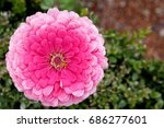 dahlia pink in garden with... | Shutterstock . vector #686277601