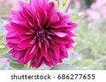 dahlia pink and text space | Shutterstock . vector #686277655