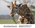 giraffe  kenya | Shutterstock . vector #686319517