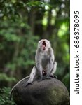 Small photo of A alpha male macaque yawns. Photographed in Monkey Forest, Ubud.