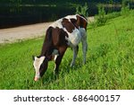 cute baby cow on farmland | Shutterstock . vector #686400157
