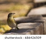 Small photo of African citril finch, Namibia