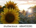 sunflower field landscape   Shutterstock . vector #686453281