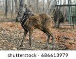 siberian musk deer  a rare pair ...   Shutterstock . vector #686613979
