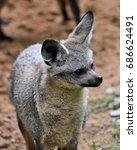 profile of the bat eared fox ... | Shutterstock . vector #686624491