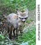 the bat eared fox  otocyon... | Shutterstock . vector #686624494