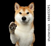 Portrait Of Cute Shiba Inu Dog...