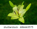 beautiful lily flowers grow in... | Shutterstock . vector #686663575