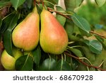 Bunch Of Ripe Pears On Tree...