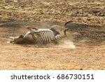 A Crawshay's Zebra Enjoys A...
